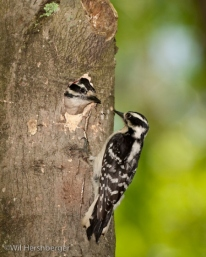 Female downy woodpecker shows up at nest hole.