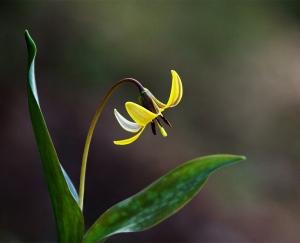 Trout Lily, Erythronium americanum